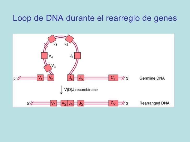 Cadena Liviana• Dos loci separados – kappa (κ) y lambda (λ) en 2  cromosomas diferentes• Expresan cadenas livianas kappa y...