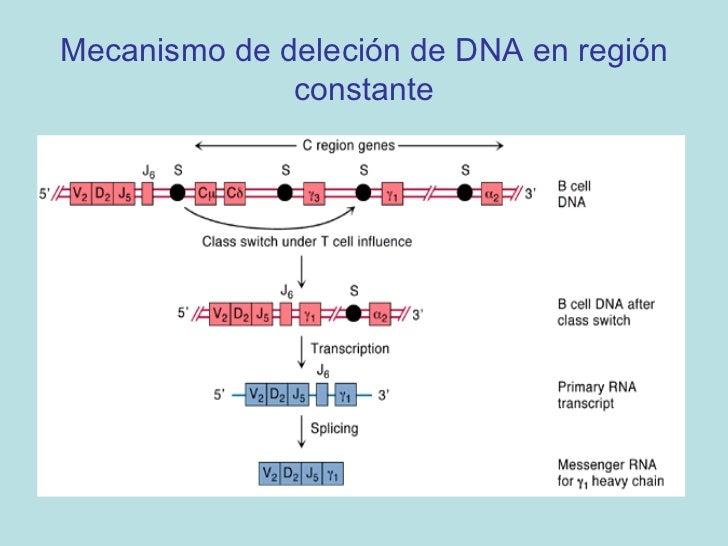 Estadíos del Desarrollo de       Linfocitos B