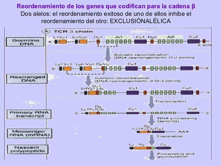 Ontogenia de Linfocitos TpreTCR:•Es expresado seguido al reordenamiento exitoso de TCR•Favorece reordenamiento de la caden...