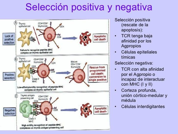 Ontogenia de linfocitos TDurante la ontogenia de linfocitos T se toman las siguientes decisiones:•   Reordenamiento del TC...