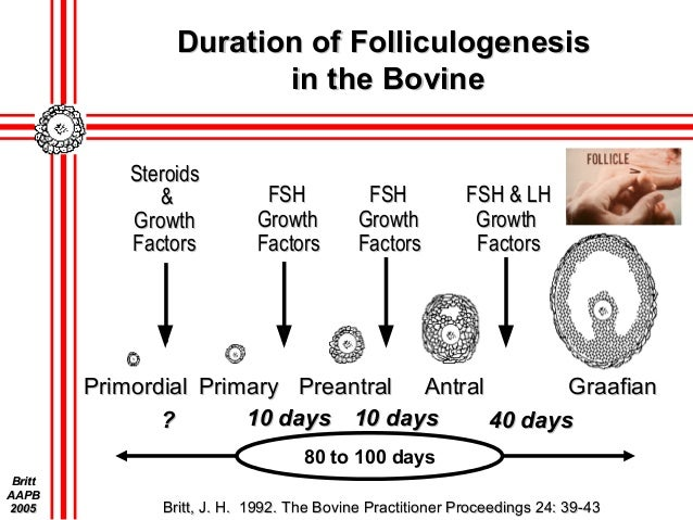 principles of development for bovine oocytes and follicles