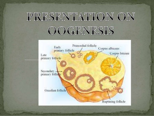  Oogenesis is the period of growth differentiation and maturation occurring in the female gonads or ovaries during which ...