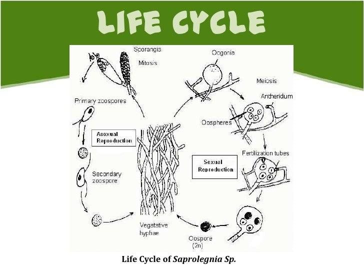 Oomycetes Oomycetes Life Cycle