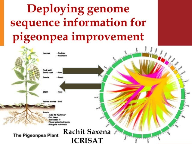 Deploying genome sequence information for pigeonpea improvement Rachit Saxena ICRISAT