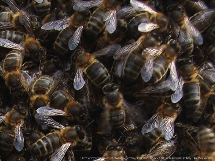 [bees]<br />http://www.flickr.com/photos/max_westby/3504185568/in/set-103171/ A swarm in May… by Max Westby<br />