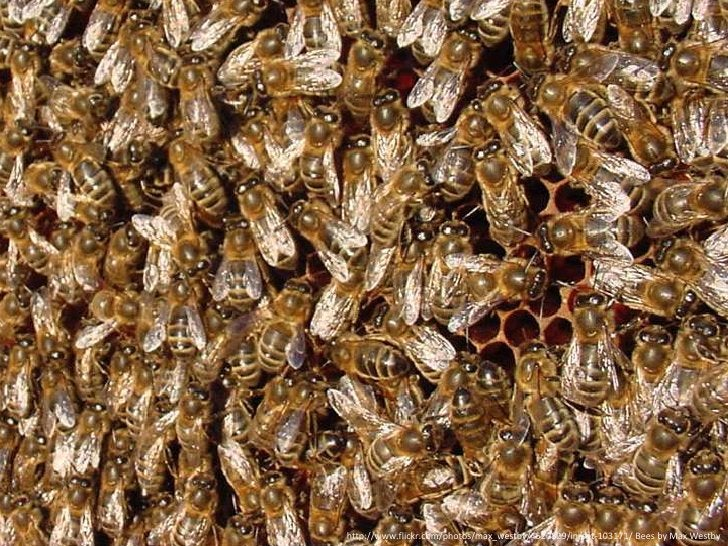 [bees]<br />http://www.flickr.com/photos/max_westby/4520829/in/set-103171/ Bees by Max Westby<br />
