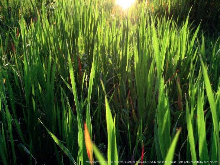 [grass]<br />http://www.flickr.com/photos/sunshinecity/443913544/ sun in tall grass - sole nell&apos;erbaalta by sunshinci...