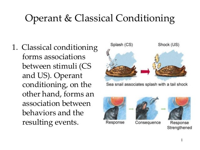 Operant & Classical Conditioning 1. Classical conditioning forms associations between stimuli (CS and US). Operant conditi...