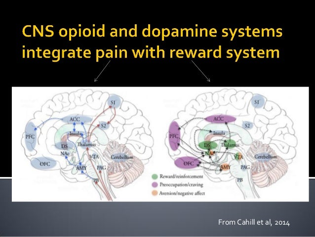 """ DA: in reward-driven actions-- """"wanting"""" Opioids: in hedonic tone– """"liking""""  These systems are integrated to modulate t..."""