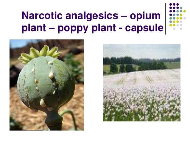 Narcotic analgesics – opium plant – poppy plant - capsule