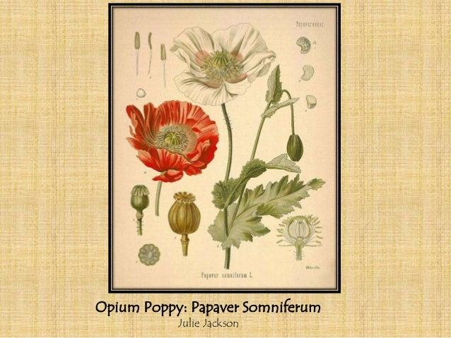 Opium Poppy: Papaver Somniferum           Julie Jackson