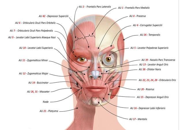DISGUSTO Naso arricciato Labbro superiore sollevato * Labbro inferiore rilasciato * muscoli che caratterizzano l'emozione ...