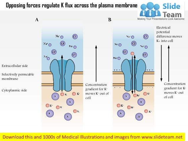 Extracellular side Selectively permeable membrane Cytoplasmic side Concentration gradient for K+ moves K+ out of cell Conc...