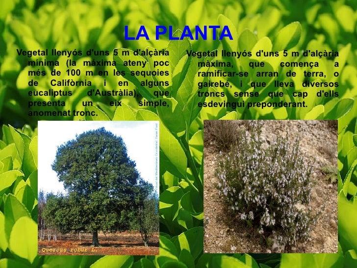 LA PLANTA <ul><li>Vegetal llenyós d'uns 5 m d'alçària mínima (la máxima ateny poc més de 100 m en les sequoies de Califòrn...