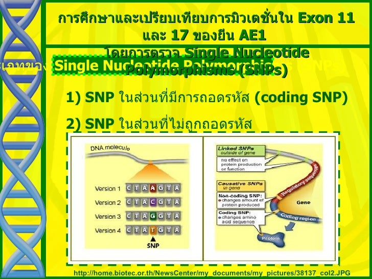 single nucleotide polymorphism thesis A thesis submitted in fulfillment of the requirements for  forensic identification of specified physical traits is my own  snp single nucleotide polymorphism.