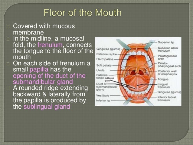 Anatomy of the oral cavity proper for Floor of mouth anatomy