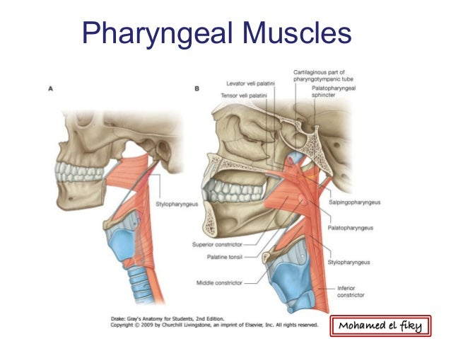 Oral Cavity Palate Pharynx