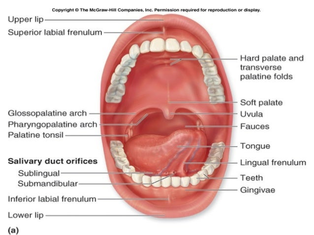 Oral Cavity Oropharynx