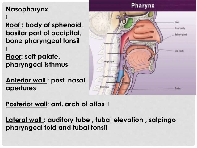 Oral Nasopharynx 96