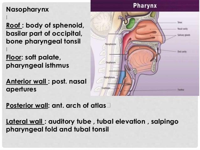 Nasopharynx Roof : body of sphenoid, basilar part of occipital, bone pharyngeal tonsil Floor: soft palate, pharyngeal isth...