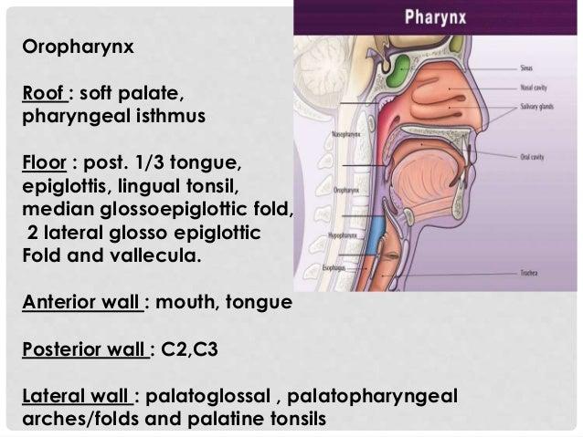 Oropharynx Roof : soft palate, pharyngeal isthmus Floor : post. 1/3 tongue, epiglottis, lingual tonsil, median glossoepigl...
