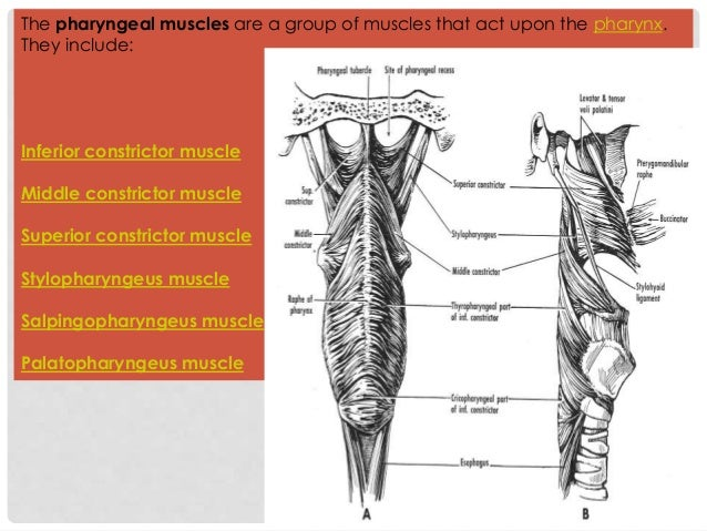 The pharyngeal muscles are a group of muscles that act upon the pharynx. They include: Inferior constrictor muscle Middle ...