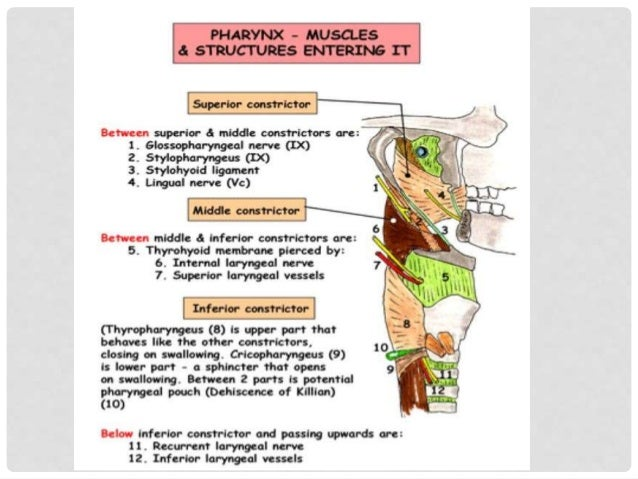 MRI BUCCINATOR MASSETER INTRINSIC MUSCLE OF TONGUE GENIOGLOSSUS MYLOHOID LINGUAL SEPTUM GENIOHYOID DIGASTRIC PLATYSMA