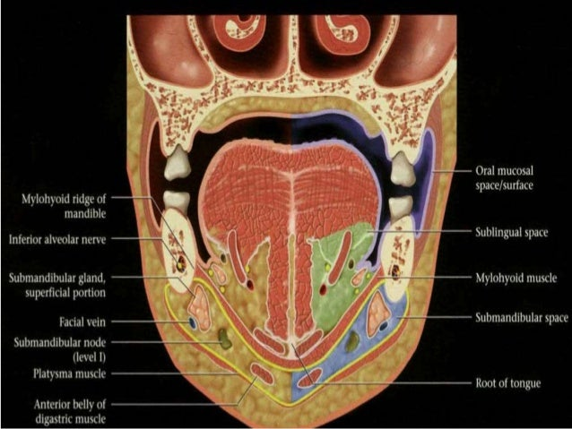 Oral cavity, pharynx radio-anatomy
