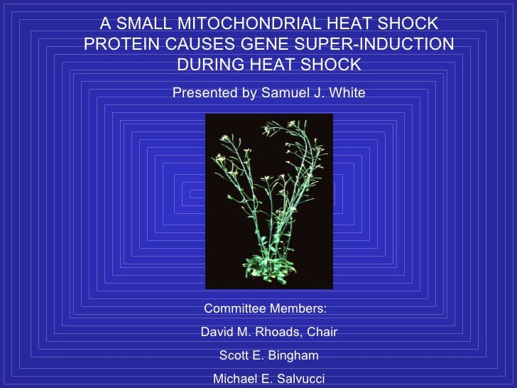 A SMALL MITOCHONDRIAL HEAT SHOCK PROTEIN CAUSES GENE SUPER-INDUCTION DURING HEAT SHOCK Presented by Samuel J. White Commit...