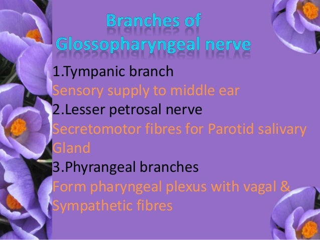 Glossopharyngeal Nerve  U0026 Its Relation To Vagus