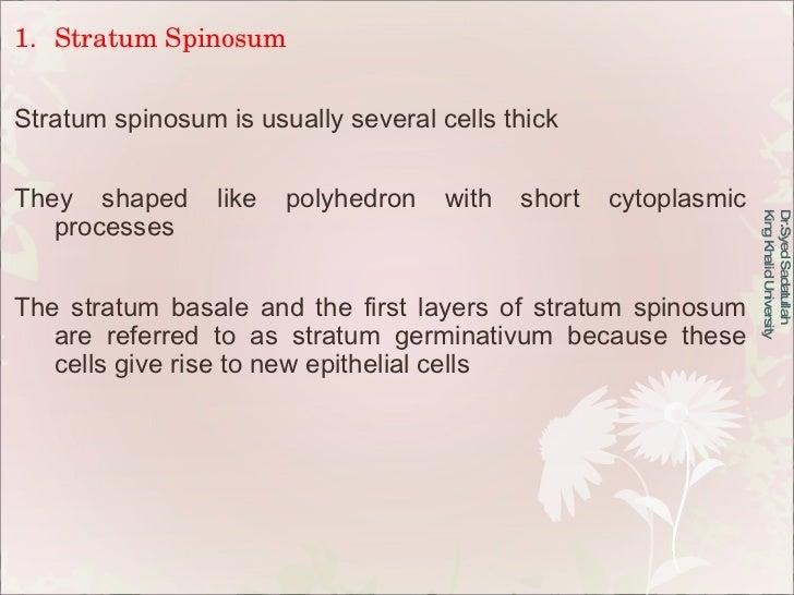 Dr.Syed Sadatullah  King Khalid University  <ul><li>Stratum Spinosum </li></ul><ul><li>Stratum spinosum is usually several...