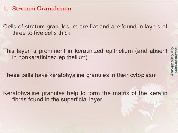 <ul><li>Stratum Granulosum </li></ul><ul><li>Cells of stratum granulosum are flat and are found in layers of three to five...