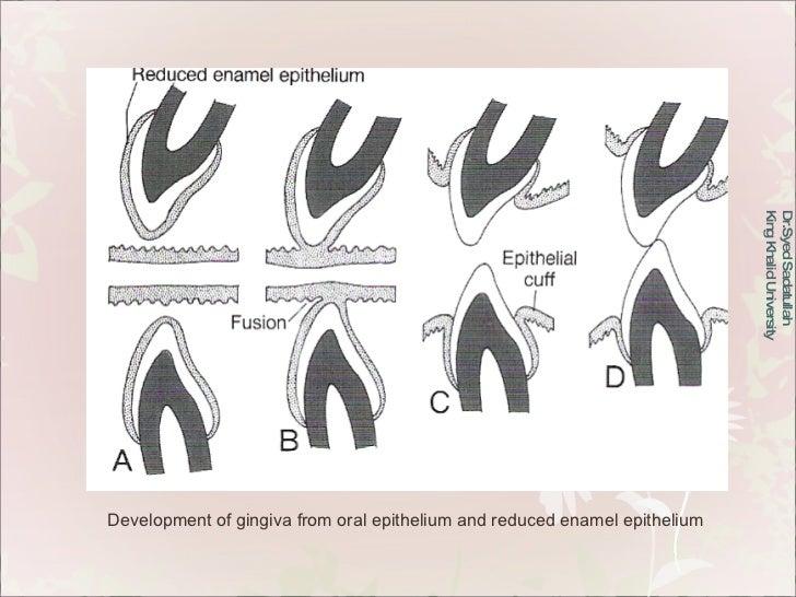 Dr.Syed Sadatullah  King Khalid University  Development of gingiva from oral epithelium and reduced enamel epithelium