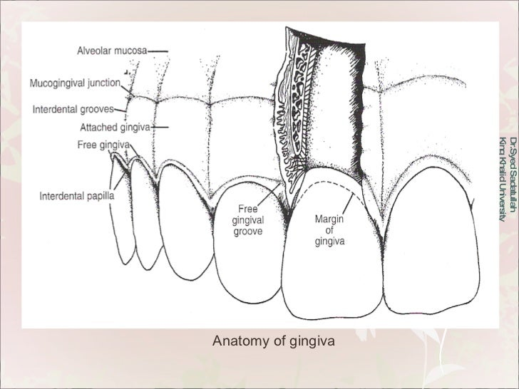 Dr.Syed Sadatullah  King Khalid University  Anatomy of gingiva