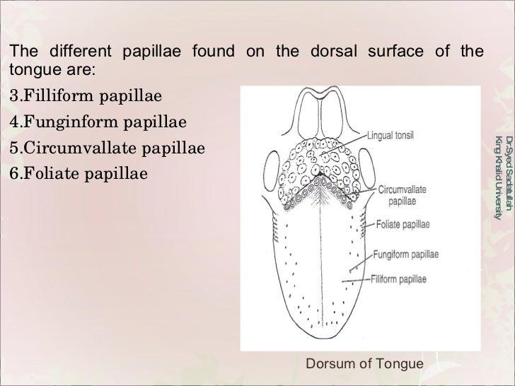 <ul><li>The different papillae found on the dorsal surface of the tongue are: </li></ul><ul><li>Filliform papillae </li></...