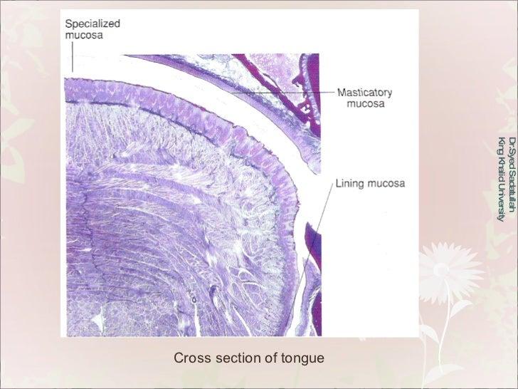 Dr.Syed Sadatullah  King Khalid University  Cross section of tongue