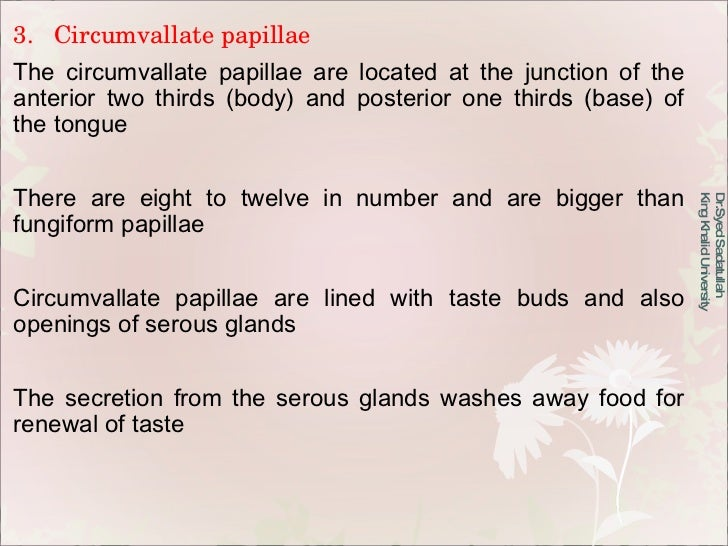 3.  Circumvallate papillae The circumvallate papillae are located at the junction of the anterior two thirds (body) and po...