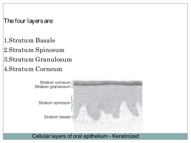 1. Stratum Basale The cells of the stratum basale are cuboidal or low columnar and form asinglelayer resting on thebasal l...