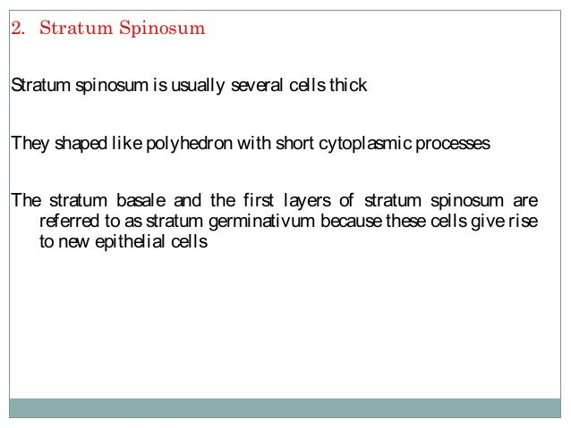 3. Stratum Granulosum Cells of stratum granulosum are flat and are found in layers of three to fivecellsthick This layer i...