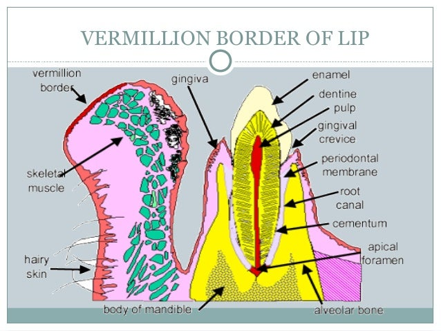 Ventral surface of the tongue Thelining mucosa here contains both lamina propria and submucosa The submucosa merges with t...