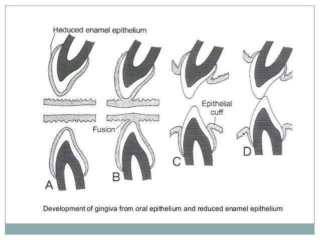 Anatomy of gingiva