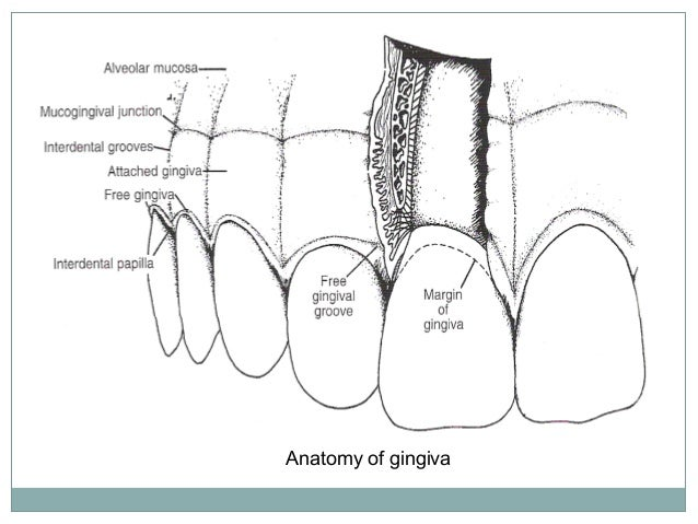 Free gingiva (or marginal gingiva) It is that part of the oral mucosathat surrounds the necksof theteeth and formsthefreem...