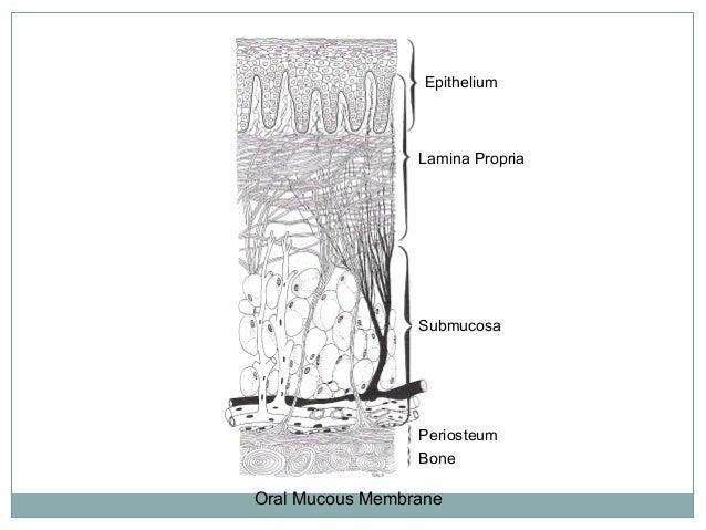 Oral Mucous Membrane Epithelium Lamina Propria Submucosa Periosteum Bone