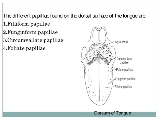 Cross section of tongue