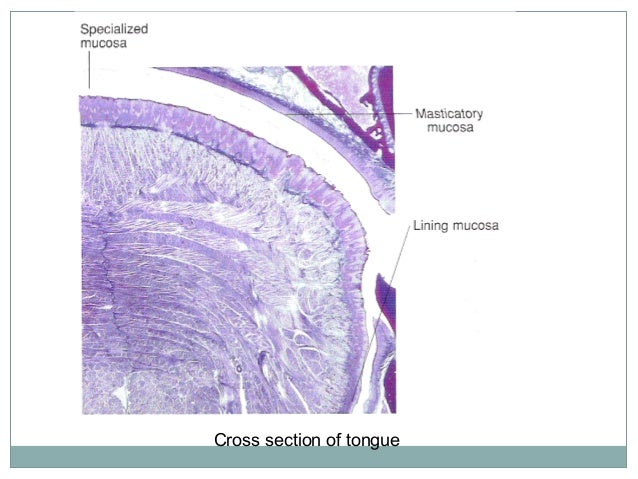 1. Filliform papillae Filliform papillae are pointed extensions of the keratinized epithelial cells They arethemost numero...