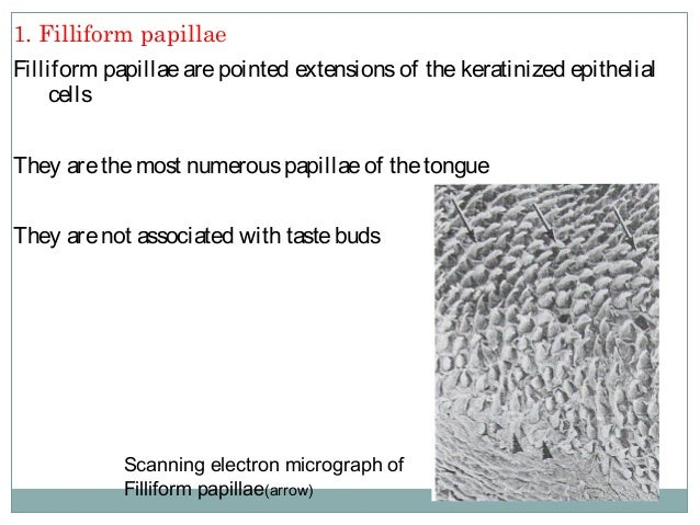 Filliform Papillae