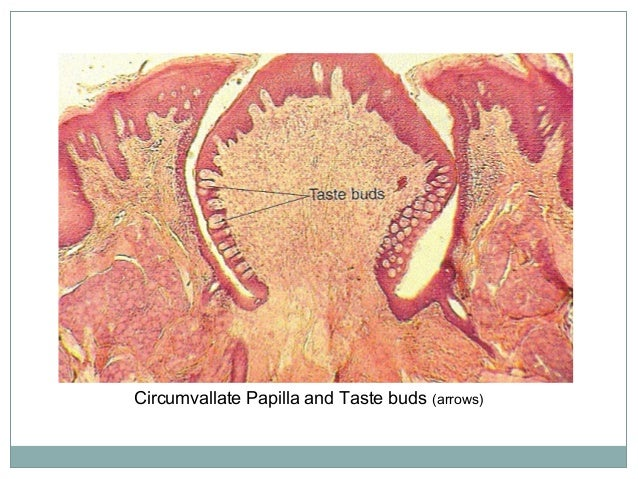 4. Foliate papillae Foliate papillae are located in the furrows along the posterior sides of thetongue They may belined wi...