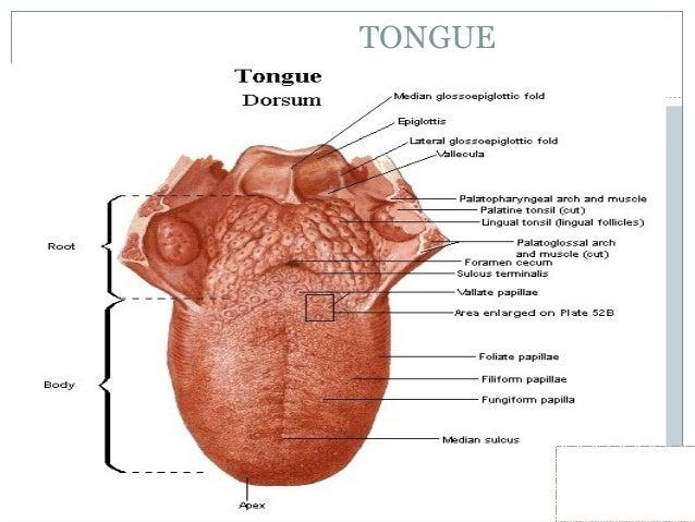 PAPILLAE OF TONGUE