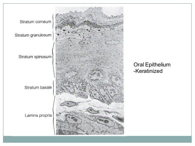 CELL LAYERS OF ORTHOKERATINISED EPITHELIUM