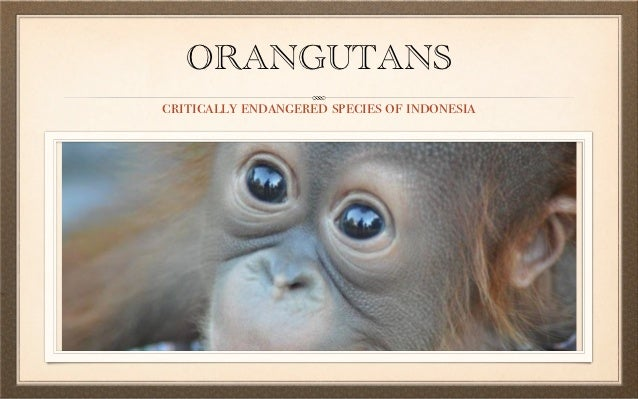 ORANGUTANScritically endangered species of indonesia